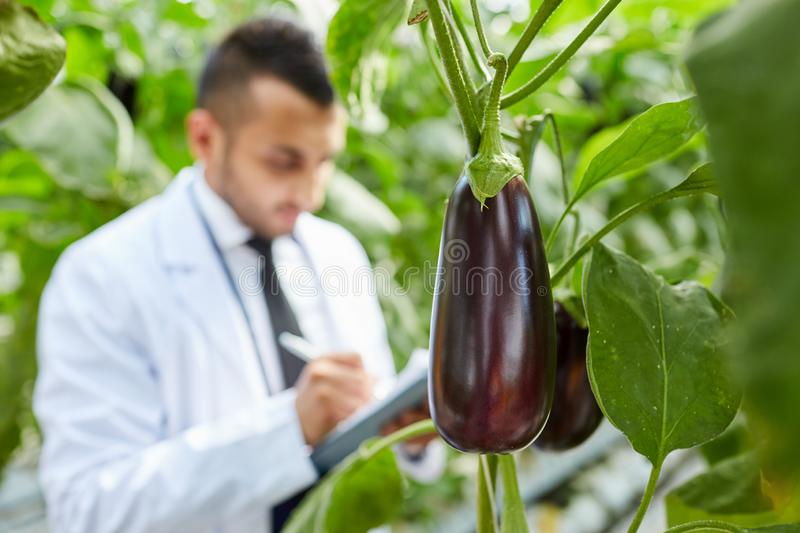 Aubergine on bunch. Close-up of aubergine growing on bunch of plant, scientist making notes about cultivation in background stock photo
