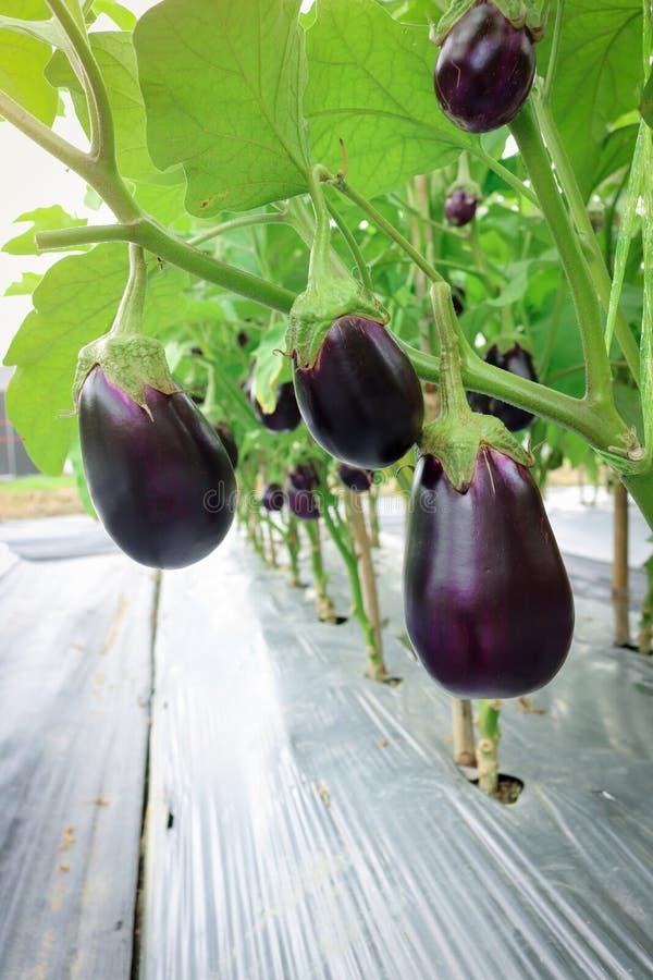 Aubergine het groeien in gebiedsinstallatie klaar voor oogst royalty-vrije stock foto
