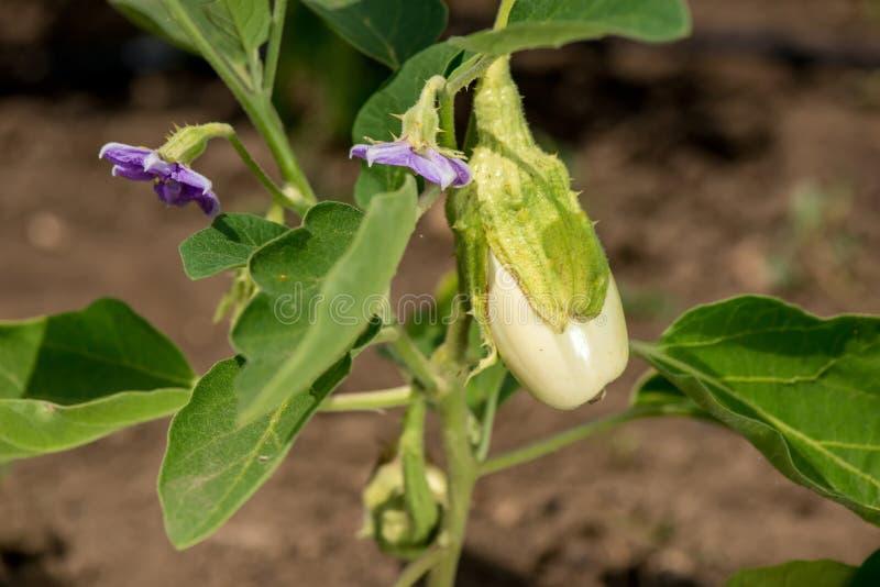 Aubergine met bloemen in de tuin royalty-vrije stock afbeeldingen