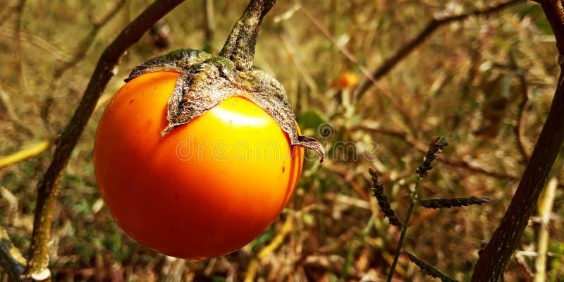 Aubergine orange images libres de droits