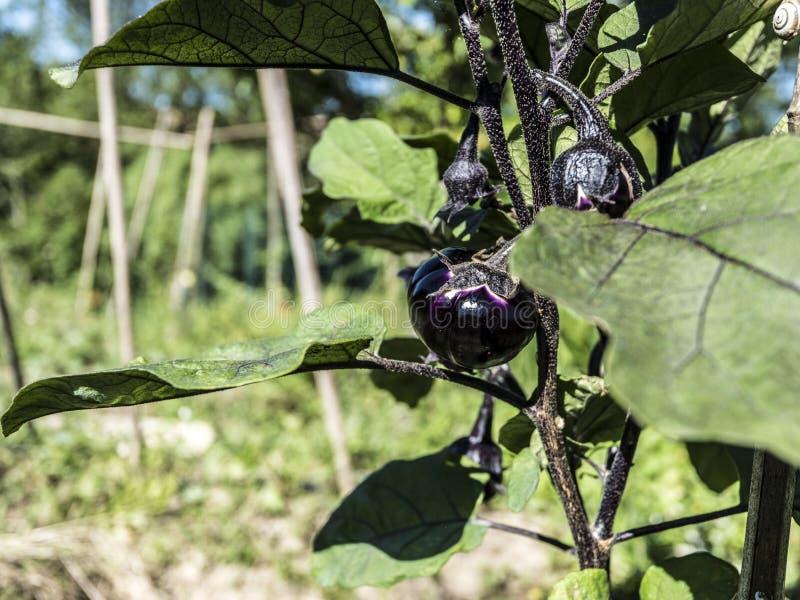 Aubergine. Plant on a plant closeup stock photos