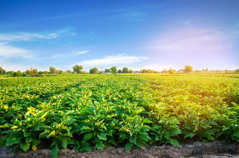 Aubergine plantations grow in the field. vegetable rows. farming, agriculture. Landscape with agricultural land. crops stock photos