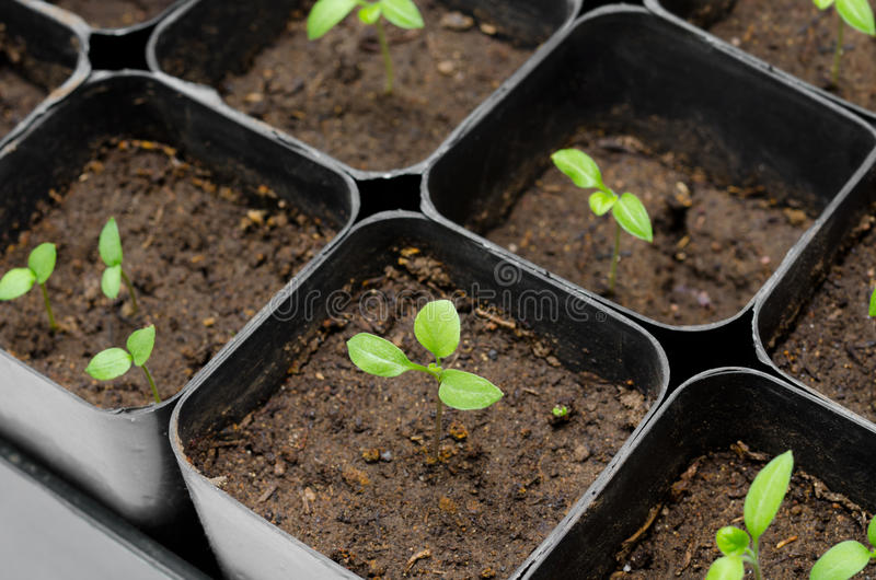 Aubergine seedlings. Seedlings of aubergine (eggplant) in boxes, at a window royalty free stock photography