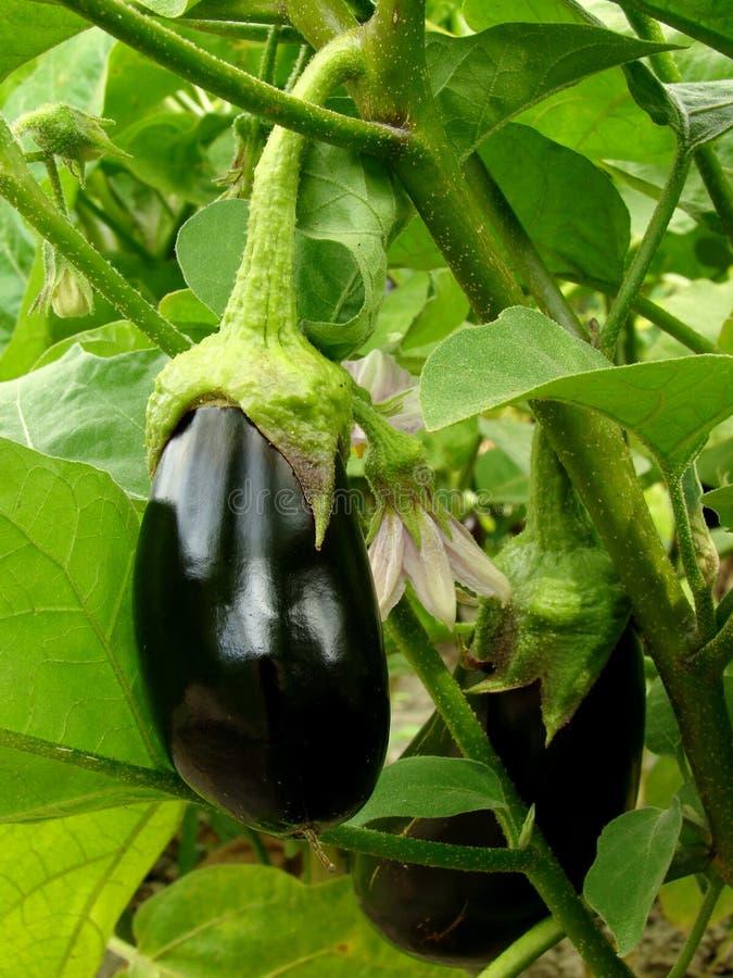 Download Auberginefrucht stockfoto. Bild von gesund, dunkel, bett - 26353414