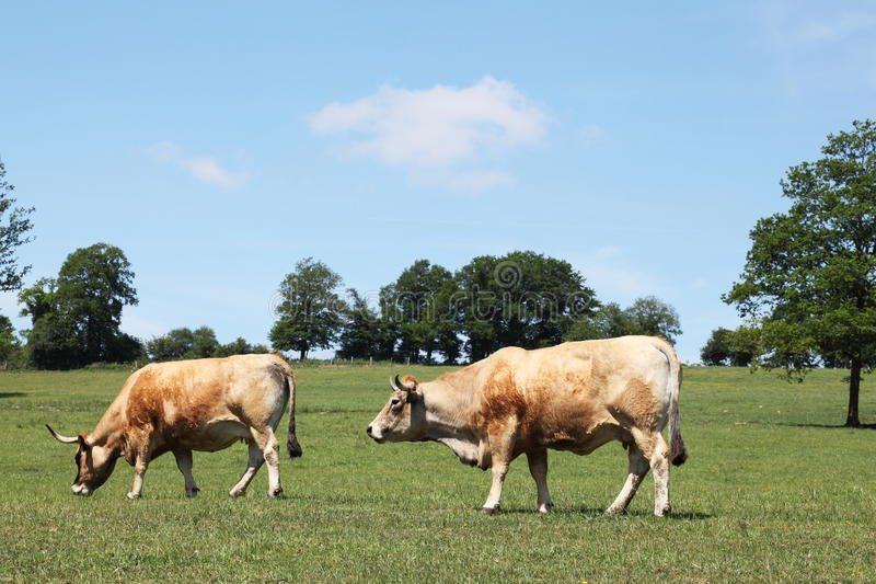 Aubrac Beef Cows Grazing In Pasture. The fawn coloured Aubrac beef cattle breed, also known as Laguiole, originated in the Auvergne department in France but is stock photo