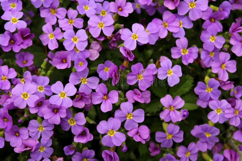 Aubretia or Aubrieta hardy evergreen perennial flowering plants with multiple dense small violet flowers with yellow center. Aubretia or Aubrieta low spreading stock photography