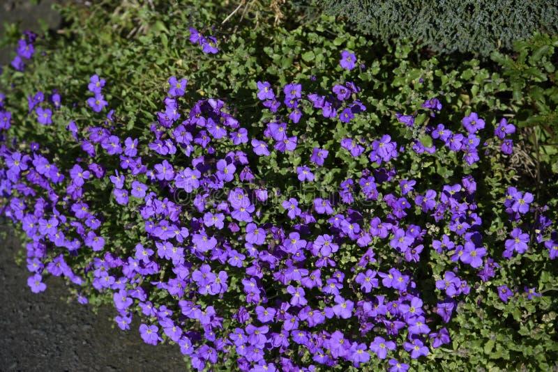 Aubretia en un jardín de Lancashire imagenes de archivo