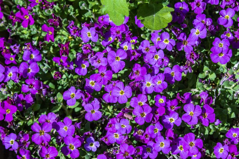 Aubretia oder Aubrieta, die niedrig robuste immergrüne beständige Blütenpflanzen mit mehrfachen dichten kleinen violetten Blumen  stockfotografie