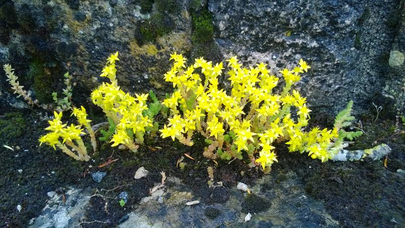 Aubrey flowers acrid Orleans region. Aubrey flowers acrid yellow Orleans region  in France stock photos