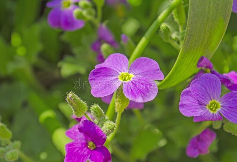 Aubrieta Deltoidea kwiaty obraz stock