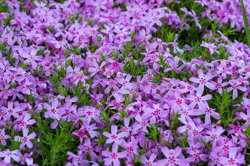 Aubrieta pink closeup, small pink flowers in the garden. Landscape design in the botanical garden stock photos