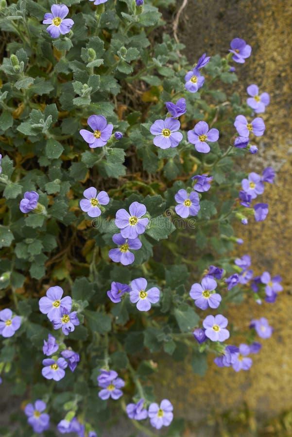 Aubrieta purpur kwiatostan zdjęcia stock