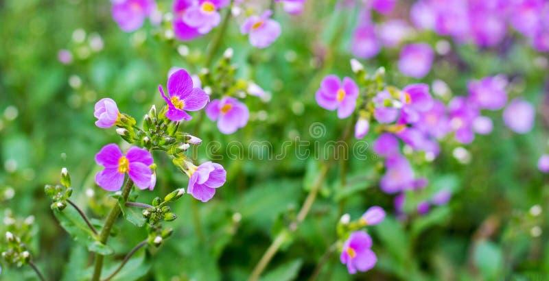 Aubrieta rosado de las flores entre el verdor en el flowerbed_ fotografía de archivo libre de regalías