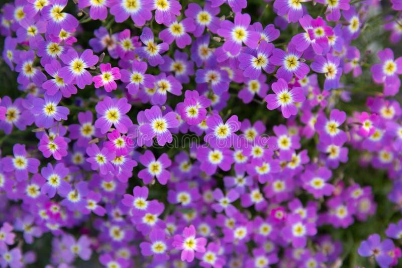Aubrietadeltoidea of Aubretia plant het bloeien in de lente, Kiparissi Lakonias, de Peloponnesus, Griekenland royalty-vrije stock foto's