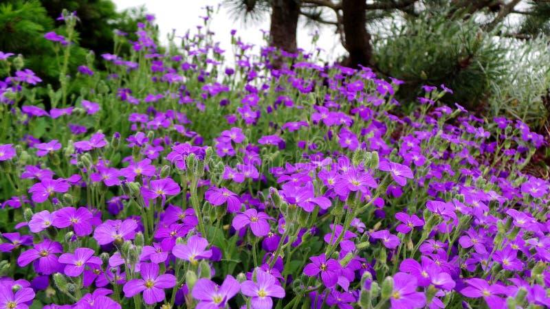 Aubrietta som ?r alpin i v?rrockery under att blomma p? en solig dag royaltyfria bilder