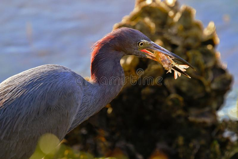 Auburn colores de luz del sol brillan sobre el egret y el camarón imagen de archivo libre de regalías