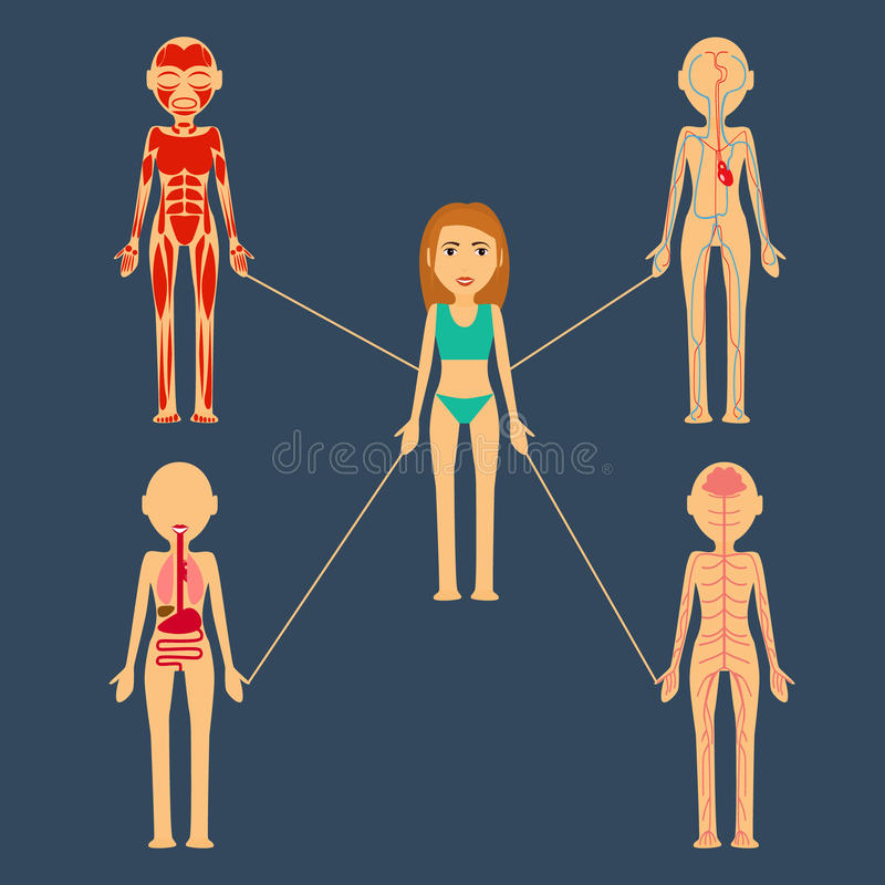 Auch im corel abgehobenen Betrag Menschliche Organe mishichnaya Masse, Knochen, Nervensystem, Blut, Lymph stock abbildung