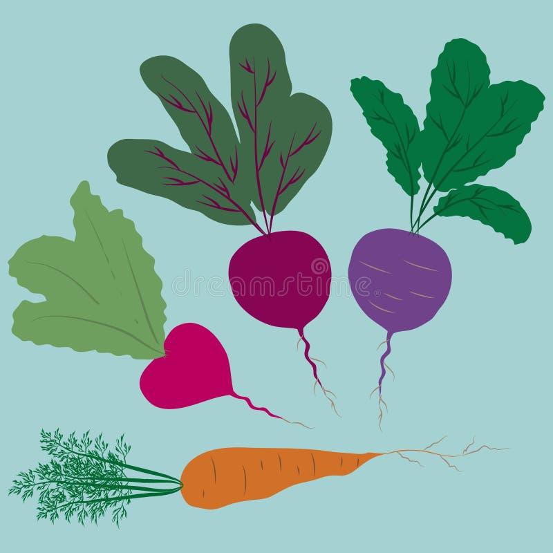 Auch im corel abgehobenen Betrag Stellen Sie von vier Wurzeln ein: Karotte, zwei Rettich und rote Rübe vektor abbildung