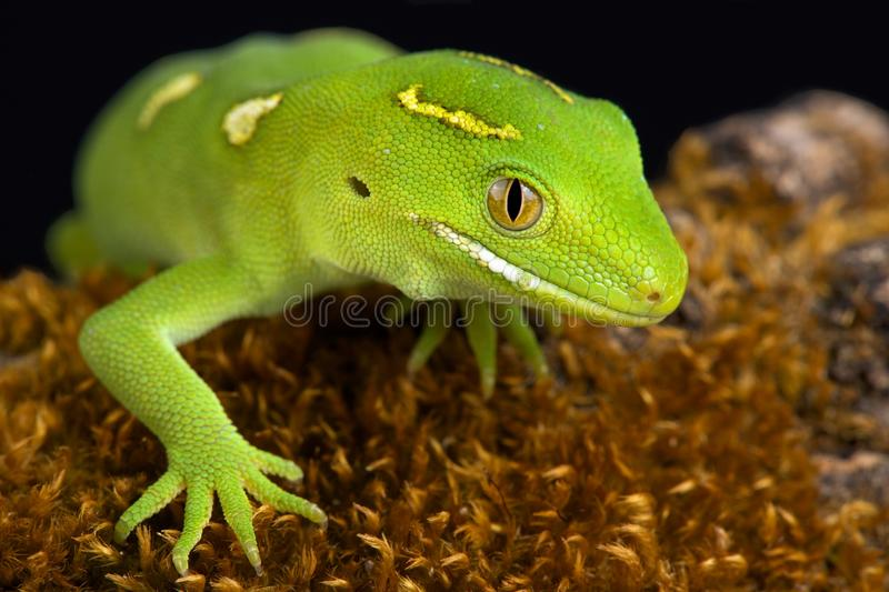 Auckland green gecko Naultinus elegans. The Auckland green gecko Naultinus elegans is a species of gecko found only in the northern half of the North Island of royalty free stock photography