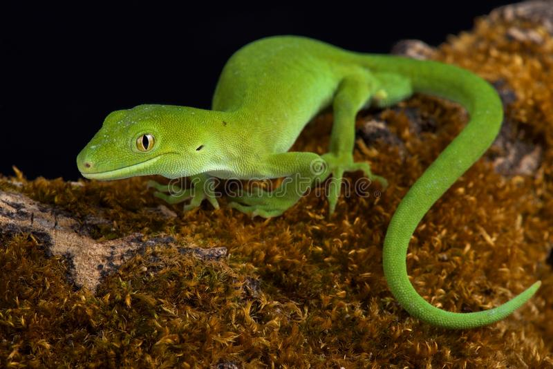 Auckland green gecko Naultinus elegans. The Auckland green gecko Naultinus elegans is a species of gecko found only in the northern half of the North Island of royalty free stock photo