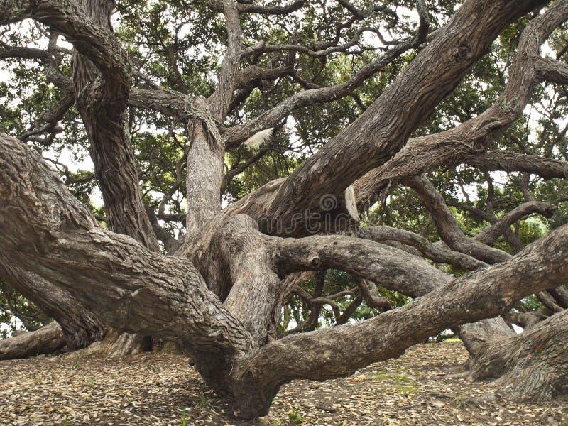 auckland nowy pohutukawa drzewo Zealand obraz royalty free