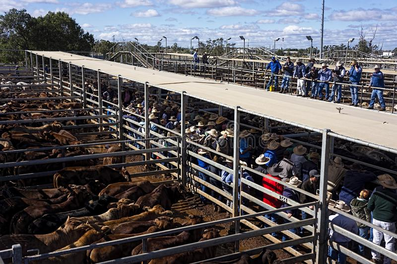 Auctioneer selling beef cattle at Roma sales yards stock photography