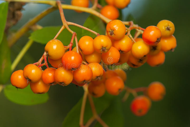 Aucuparia de Sorbus photo stock