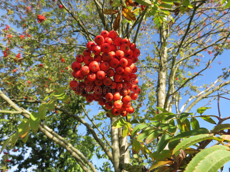 Aucuparia del Sorbus imagen de archivo