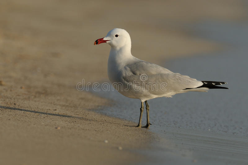Audouin's Gull (Ichthyaetus Audouinii). This bird is a very rare gull royalty free stock photos
