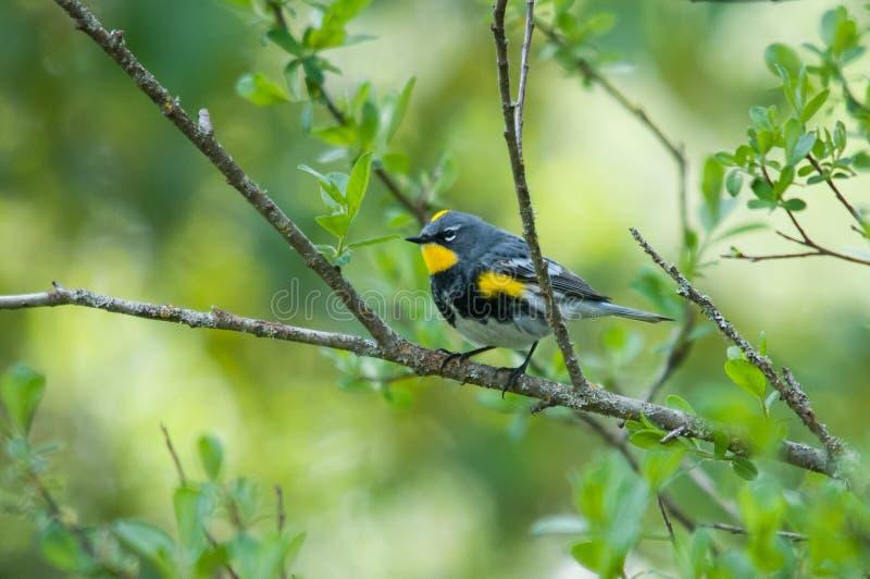 Audubon's Yellow-rumped Warbler stock image