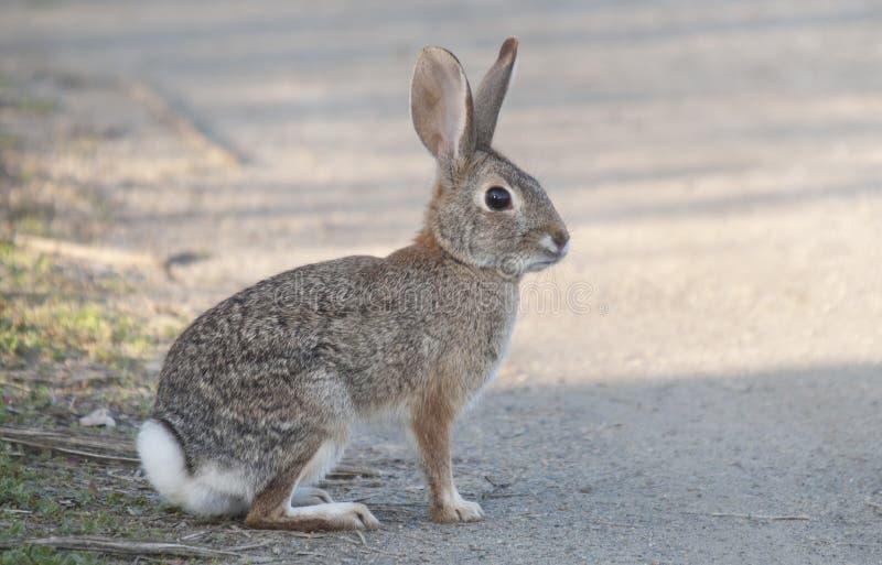 Audubonii do Sylvilagus do coelho de coelho do deserto fotografia de stock
