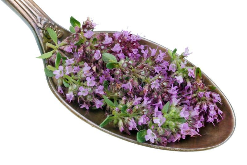 Auf dem alten goldenen Löffel gibt es eine Dosis des natürlichen Arzneimittels - kleine violette Blumen der Wiesenthymian-Oregano stockfoto