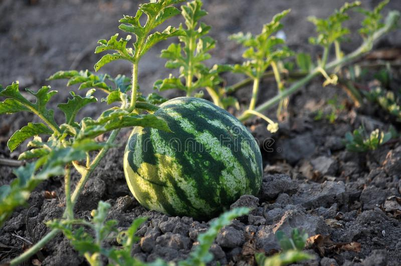 Auf dem Gebiet reift Wassermelone stockbild