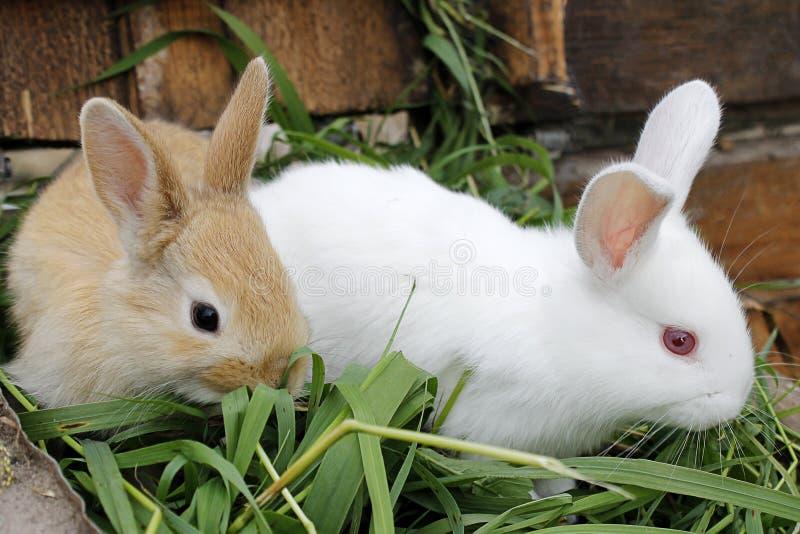 Auf dem Gras zwei des Kaninchens lizenzfreie stockbilder
