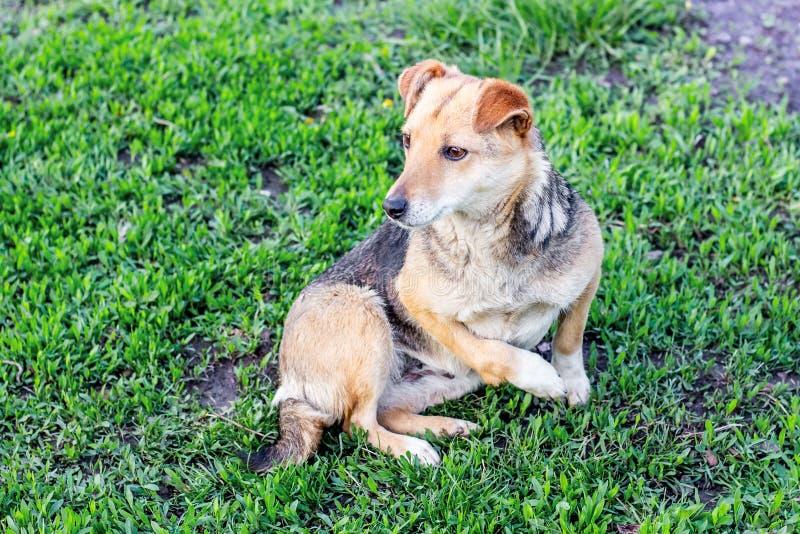 Auf dem Lügenhund des grünen Grases mit einem verletzten Fuß Grausamkeit zum animals_ stockfoto