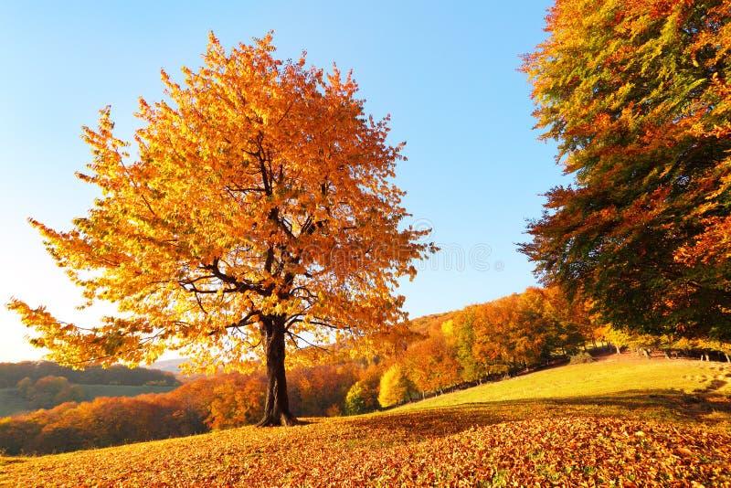 Auf dem Rasen, der mit Blättern am Hochgebirge gibt es bedeckt wird, einen einsamen netten üppigen starken Baum Sonniger Tag des  stockbild
