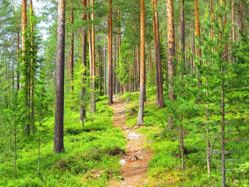 Auf dem Weg in den Kiefernwald auf dem Heimweg zum anderen Ende stockfotografie