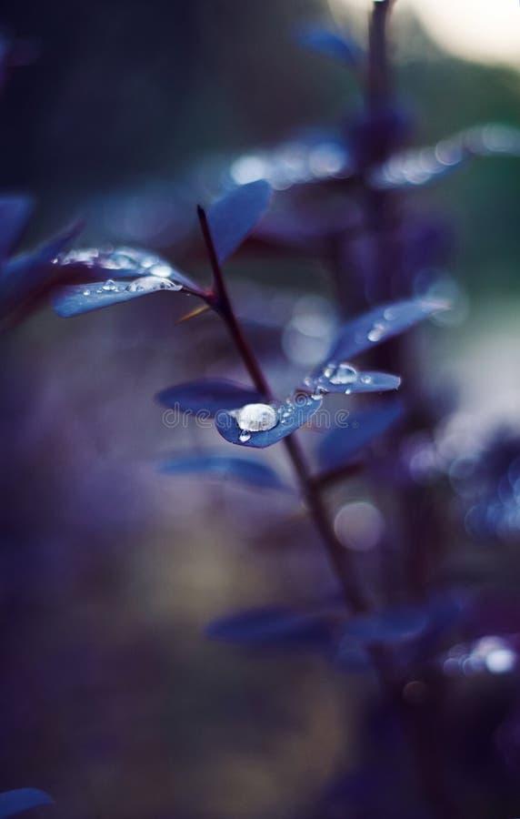 Auf den schönen purpurroten Blättern der Berberitzenbeere erfasste Tau lizenzfreie stockfotos