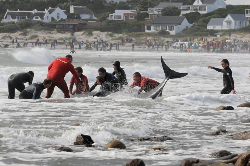 Auf den Strand gesetzte Wale Kapstadt stockfotografie