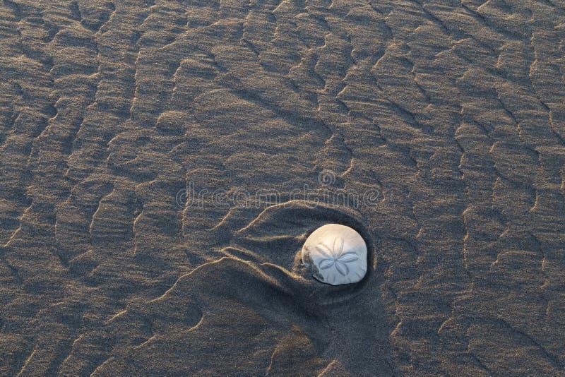 Auf den Strand gesetzter Sanddollar bei Ebbe stockfoto