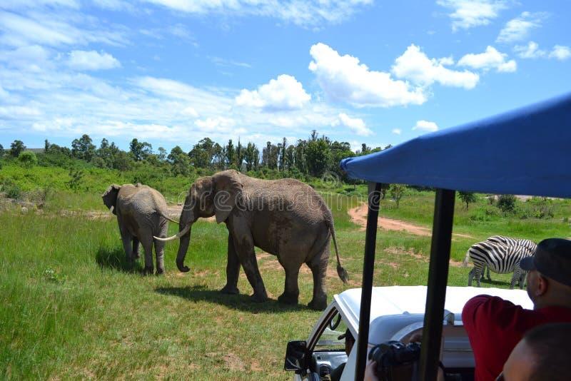 Auf der Safari, welche die Elefanten betrachtet stockbilder