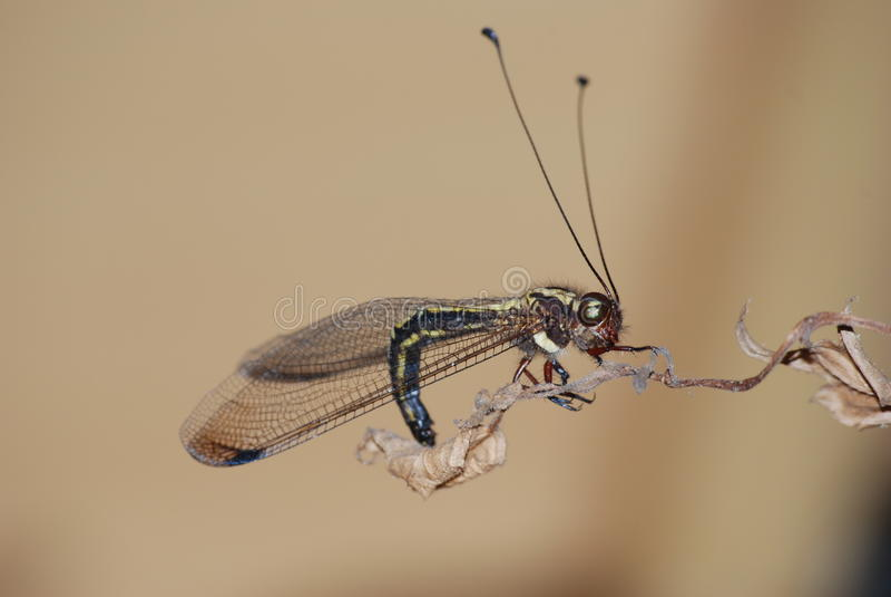 Auf einem Blatt owlfly stillstehen stockfotografie