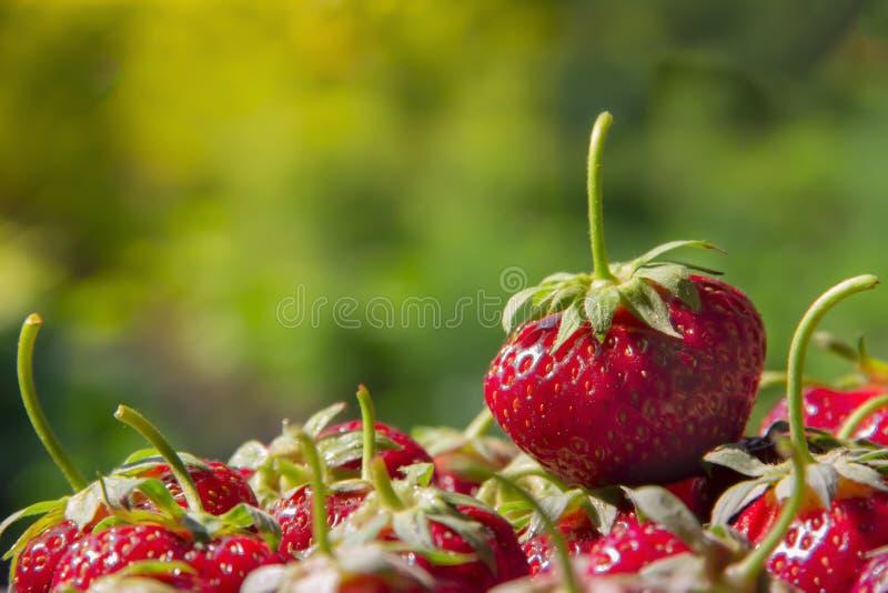 Auf einem grünen Hintergrund setzen viele Erdbeerbeeren mit Endstücken und einer großen roten Beere Aufschrift lizenzfreie stockfotografie