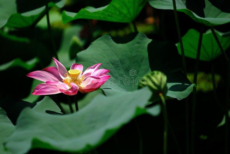 Auf lagerfoto der bunten Wasserlilie lizenzfreies stockfoto