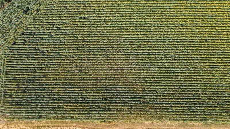 Auf und ab Landschaft von gelben Sonnenblumen Wunderbare ländliche Landschaft des Sonnenblumenfelds am sonnigen Tag Brummenvogelp lizenzfreie stockfotografie