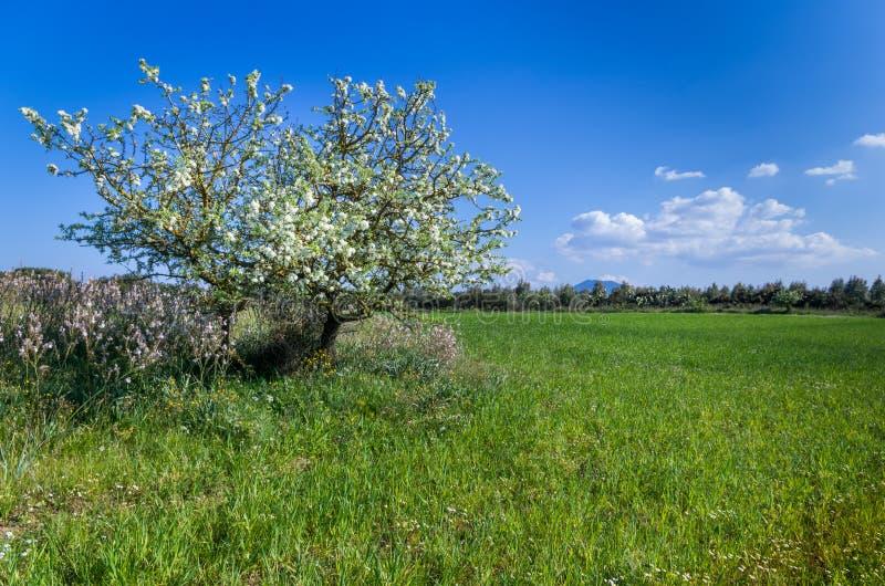 Auf Vordergrund ein wilder Birnenbaum auf einem Gebiet in der vollen Frühlingsblüte stockbilder