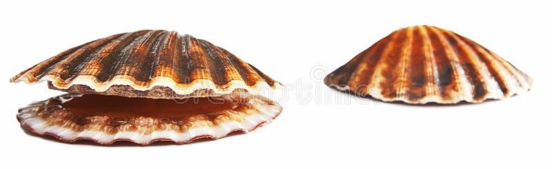 auf weißer lebendiger Kamm-Muschel stockbilder