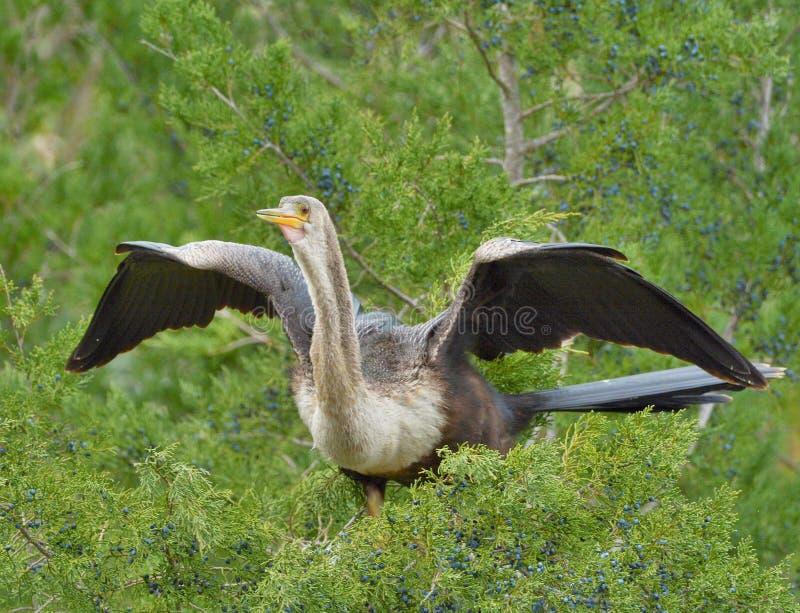Aufeinander folgendes Tauchen kräuselt die Federn des Anhinga und erfordert den Vogel, viel seiner Zeit zu verbringen putzend stockbilder