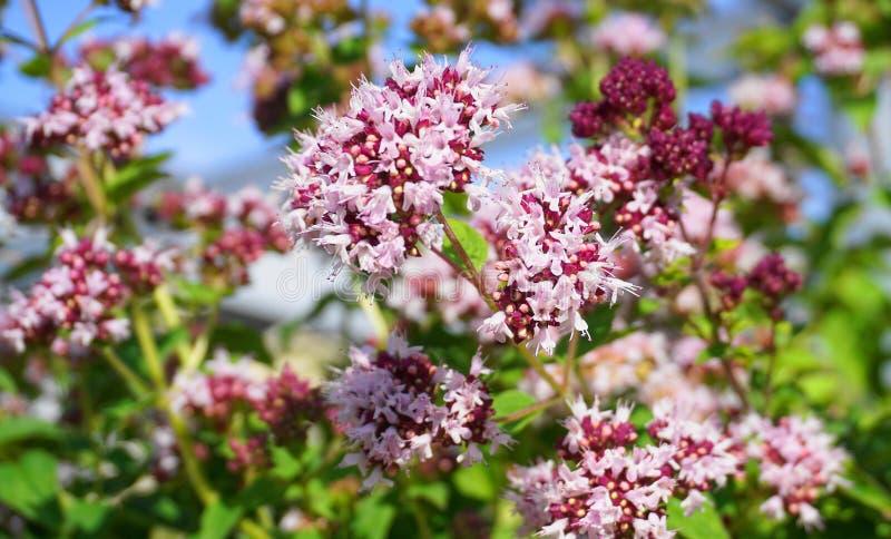 Auffällige und helle Centranthus ruber Blumen schließen oben Alias roter Baldrian oder Spornbaldrian stockbild