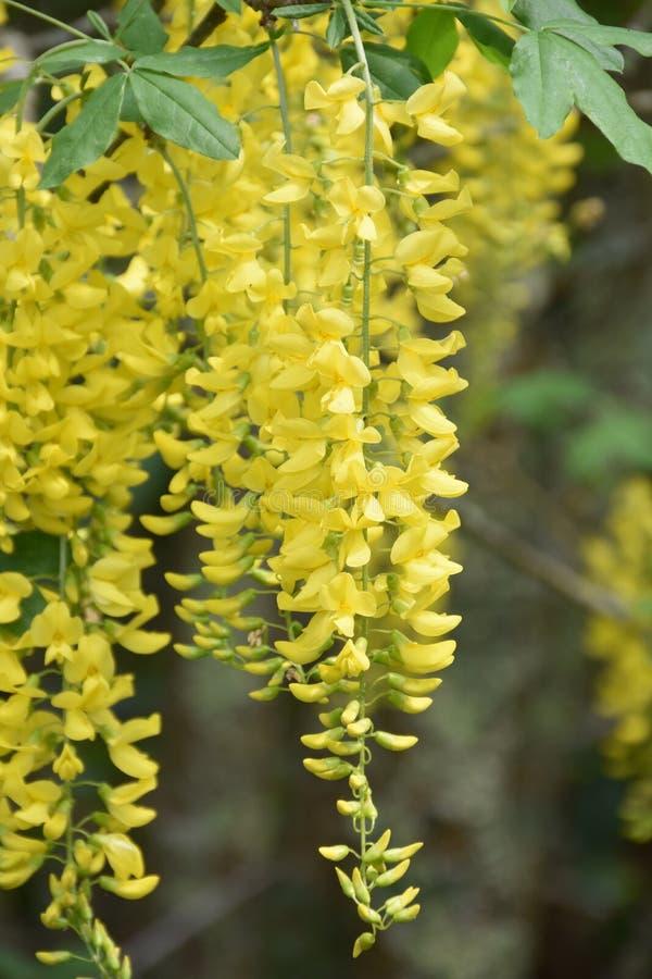 Auffallende baumelnde gelbe Blumen-Blüten, die unten drapieren stockbilder